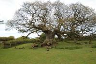 One of  two 600 years old oak trees